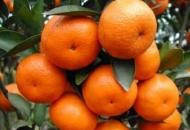 LAG Frankopan i Grad Otočac posreduju u prodaji neretvanskih mandarina