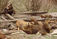 """Utočište za medvjeđu siročad u Kuterevu se sprema za """"zimski san"""""""