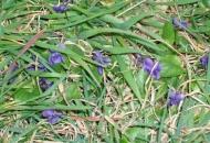 Procvjetale ljubice u Parku Pjesnika