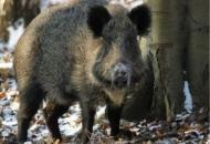 Nepoznati počinitelj odstrijelio je divlju svinju