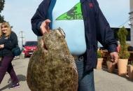 Romb u mreži senjskih ribara Butorac