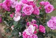 Ima onih koji plaču što ruže imaju trnje, a ne vesele se što trnje ima – ružu.