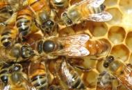 Otvoren natječaj za istraživanje u pčelarstvu
