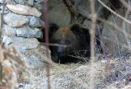 Spavaju li medvjedi zimski san ili samo kunjaju?