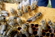 Rok za potporu pčelarima istječe 19. svibnja