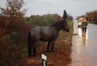 Prijavljen vlasnik konja koji je prouzrokovao prometnu nesreću