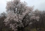 Mendule u cvatu