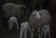 Ukralo ovce