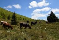 Krave na velebitskima pašnjacima
