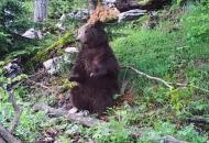 Muke po medvjedima