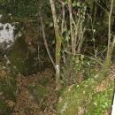 Gacke mlinice: Malcetina malenica (6)