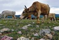 Poticaje primali a krave ni za lijek!