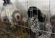 Izložba malih ukrasnih životinja u Korenici