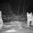Dvije mace u šetnji Velebitom