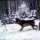 Snimljeni vukovi na sjevernom Velebitu