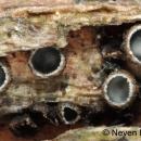 Velebit još uvijek iznenađuje novim vrstama