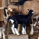 Potpore u stočarstvu