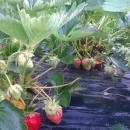 Evo onih prefinih jagoda iz Gacke