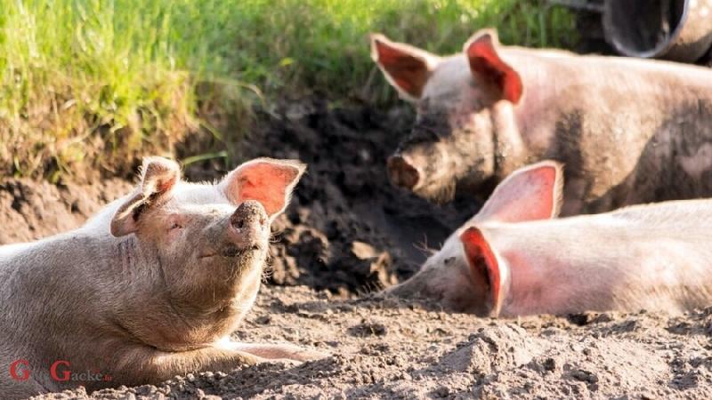 Ministarstvo poljoprivrede uvodi novčane nagrade za dojavu o lokaciji uginule divlje svinje