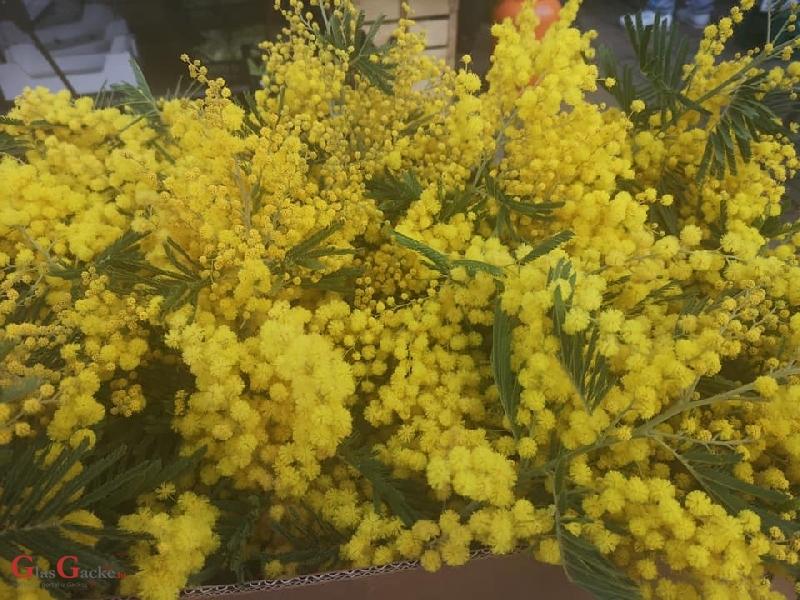 Ovogodišnje prve mimoze na otočkoj tržnici