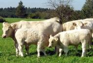 Za podizanje konkurentnosti tovnog govedarstva raspisan novi natječaj