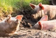 Na Vijeću EU ministara poljoprivrede i ribarstva o stanju u svinjogojstvu