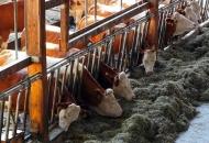 Isplaćeno gotovo 13 milijuna kuna potpore u sustavu krava-tele, uzgajivačima ovaca, koza, izvornih pasmina peradi te proizvođačima šećerne repe
