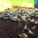Znanost utvrdila - nozemoza je uzrok velikog pomora pčelinjih društava ove zime
