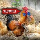 ZAPADNO BJESNILO: Udruga vegana razdvaja kokoši od pijetlova kako bi spriječili - silovanja