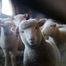 9 milijuna kuna pomoći proizvođačima tovne junadi, svinja i janjadi