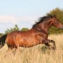 8,7 milijuna kuna za uzgoj toplokrvnih pasmina konja i očuvanje izvornih i ugroženih pasmina domaćih životinja