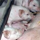 Ulaganja u reprocentre u sektoru svinjogojstva