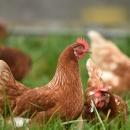 Trenutno nema utvrđene influence ptica na drugim gospodarstvima