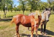 Isplaćeno više od 900 tisuća kuna potpore sektoru konjogojstva